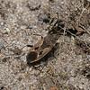 Rhyparochromus pini, July