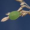 Green Shieldbug - Palomena prasina nymph, August