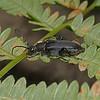 Stictoleptura scutellata, July