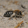 Colletes sp, August