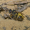 Philanthus triangulum female with prey, July