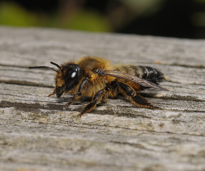 Megachile sp, July