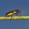 Sciara thomae, July