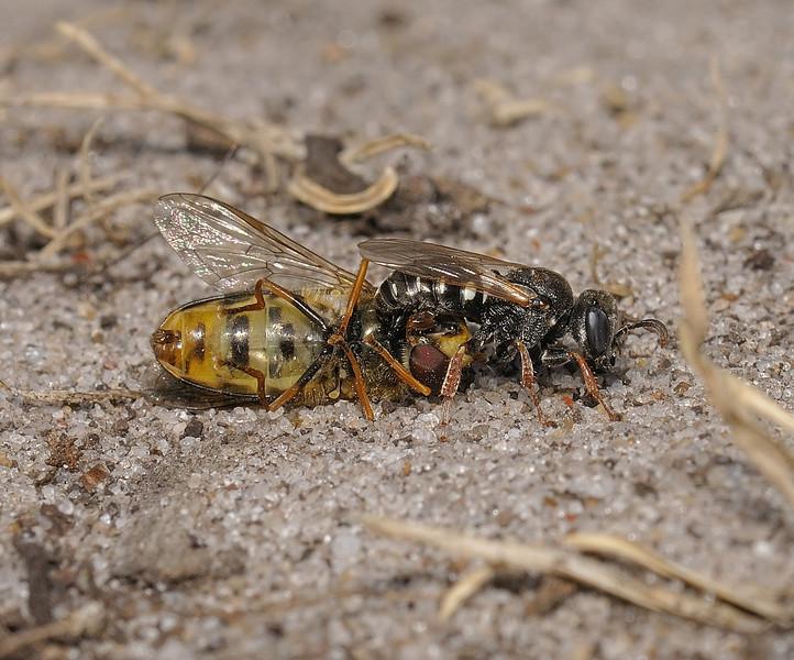 Oxybelus uniglumis and Hoverfly prey, June