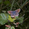 Common Blue, August