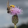 Philanthus triangulum male, July