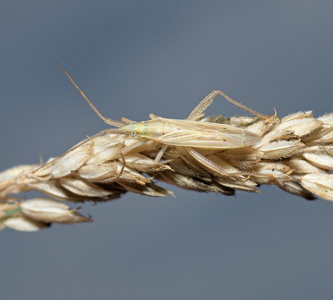 Stenodema  laevigata, August