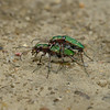 Green Tiger Beetle - Cicindela campestris pair, June