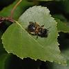 Andrena sp, June