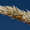 Stenotus binotatus male, July