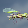 Chrysoperla sp, August