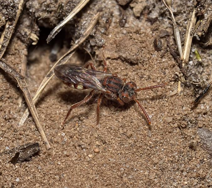 Nomada baccata female, July