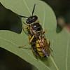 Philanthus triangulum female with prey, July