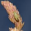 Stenotus binotatus, July