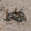 Andrena argentata, June