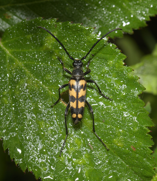 Leptura quadrifasciata, August