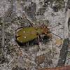 Green Tiger Beetle - Cicindela campestris, May