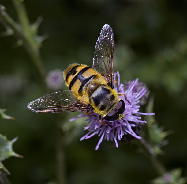 Myathropa florea male, August