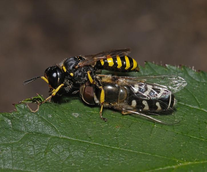 Ectemnius sp with Scaeva pyrastri prey, August