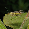 Panorpa communis female, August