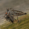Robber fly with prey, July