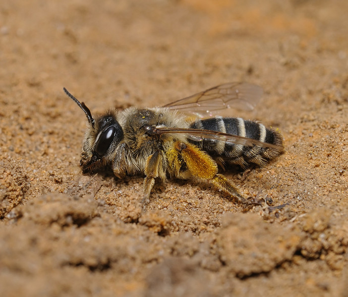 Colletes sp?, July