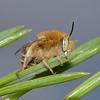 Anthophora bimaculata, June