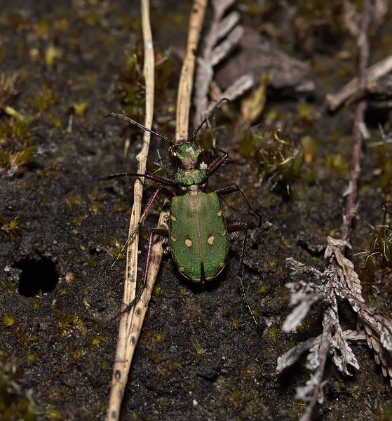 Green Tiger Beetle - Cicindela campestris, March