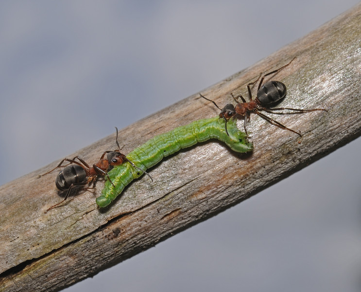 Formica rufa with caterpillar prey, August