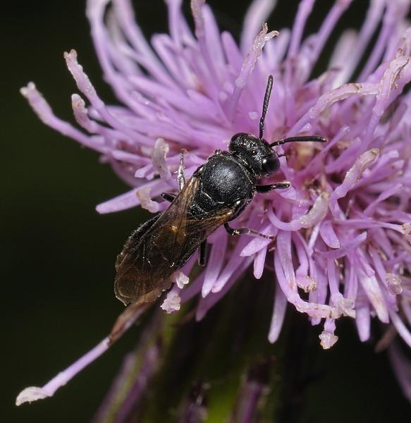 Hylaeus sp, August