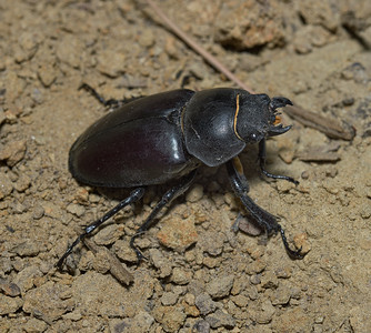 Dorcus parallelipipedus, July