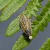Bishop's Mitre Shieldbug - Aelia acuminata, June