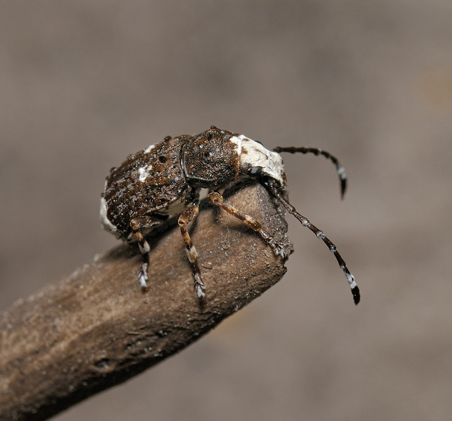 Platystomos albinus, May