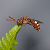 Nomada baccata female, July