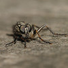 Robber fly, June