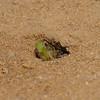 Astata boops with shieldbug nymph prey, July