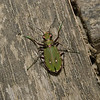 Green Tiger Beetle - Cicindela campestris, April