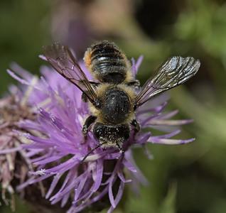 Megachile sp, July