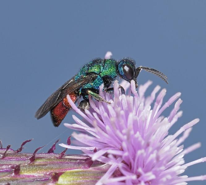 Cuckoo Wasp, July