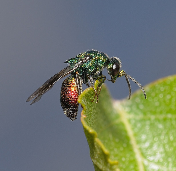 Cuckoo Wasp, June