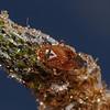 Lygus pratensis, September