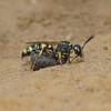 Cerceris arenaria with Vine Weevil prey, July