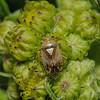 Lygus pratensis, June