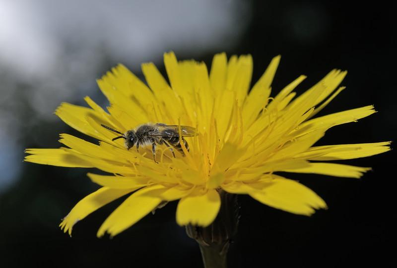 Andrena argentata, July