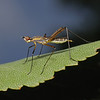 Micropeza sp, August