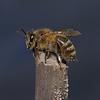 Honey Bee - Apis mellifera, August