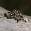 Robber fly pair, July