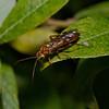 Sawfly, June