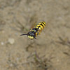 Philanthus triangulum, July