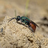 Cuckoo Wasp, August